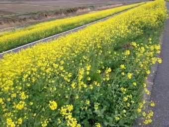 菜の花で埋め尽くされた江戸川の土手沿いです!